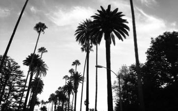 LA palmy