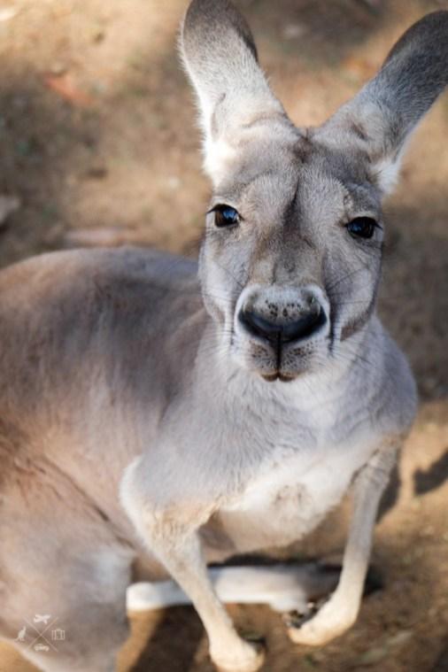 Trasa Sydney Brisbane kangury