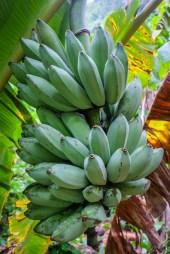 Taveuni banany