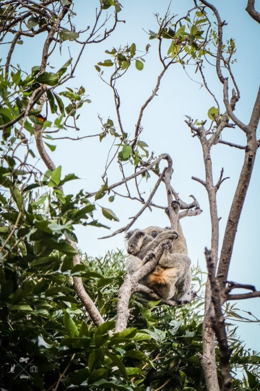Magnetic-island-koala