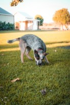 Australijski-pies