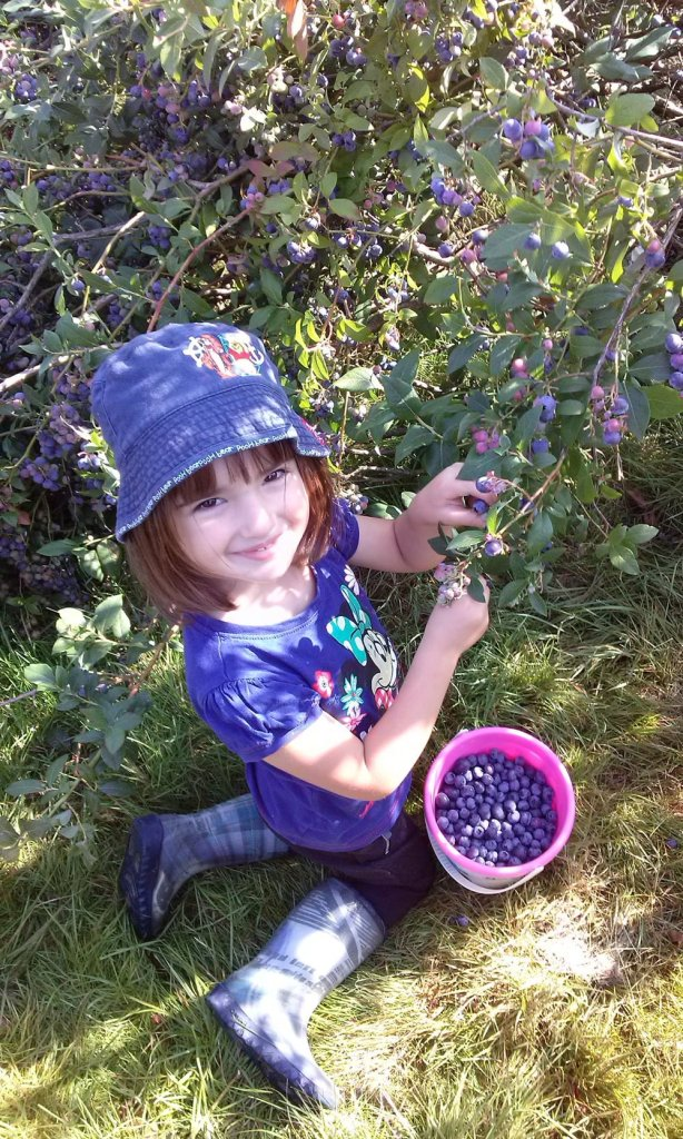 heildelbeeren pflücken 2 614x1024 Homemade Blueberry Sauce   How to Preserve Blueberries