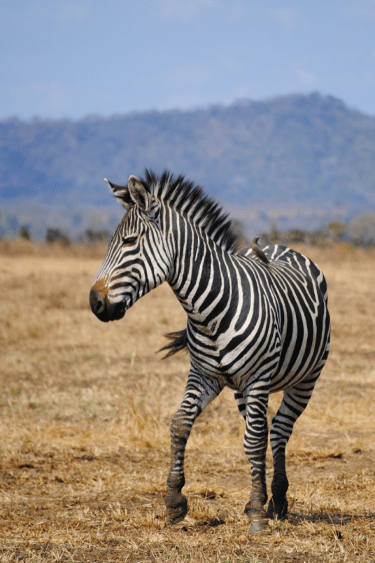 A zebra in the Serengeti National Park, Tanzania