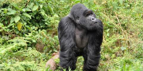 gorillas things to do in Rwanda where is tara povey top irish travel blog