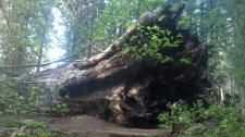 Roots of Sequoia