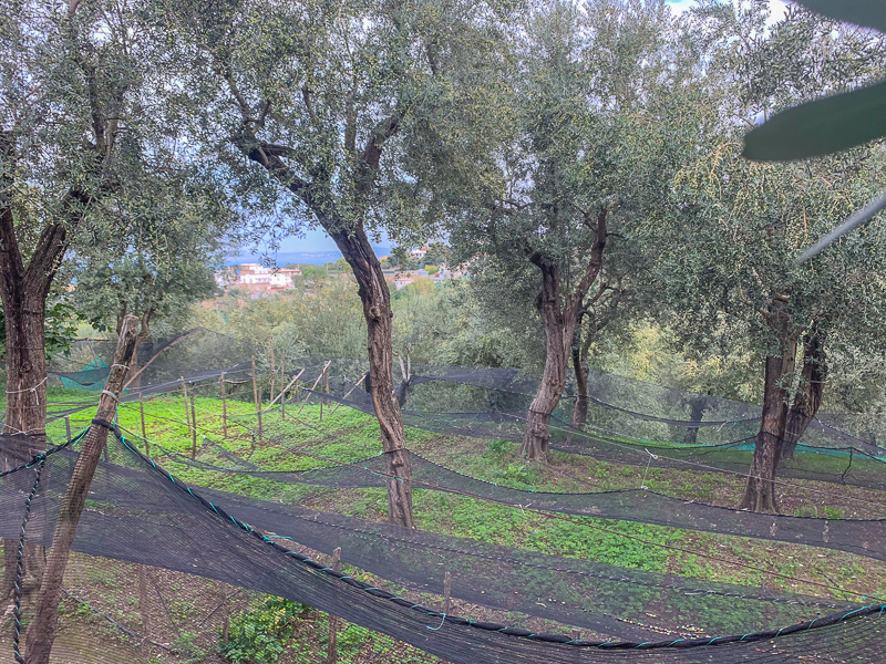 Nets strewn between olive trees at a farm outside of Sorrento, Italy.  If you are looking for things to do in Sorrento, the farm tour at La Masseria is wonderful!