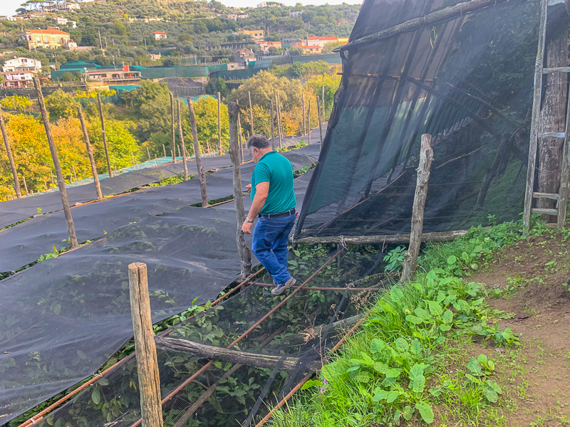 Man walking over grid of rebar on a lemon orchard in Sorrento, Italy.