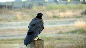 Always curious raven.