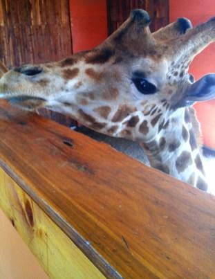 giraffe-01 sm BY CHARLEBOIS