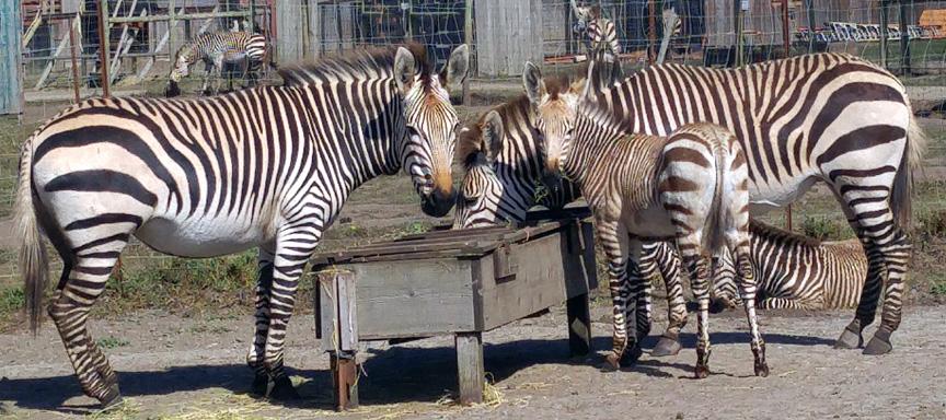 zebras-n-babies-01-sm