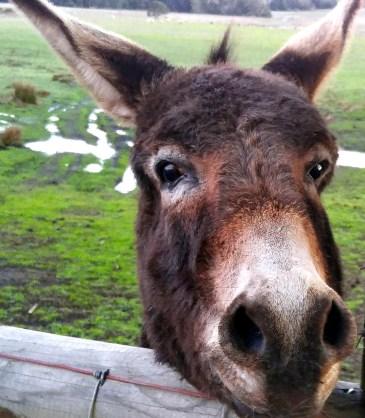 cr donkey-01 med BY CHARLEBOIS