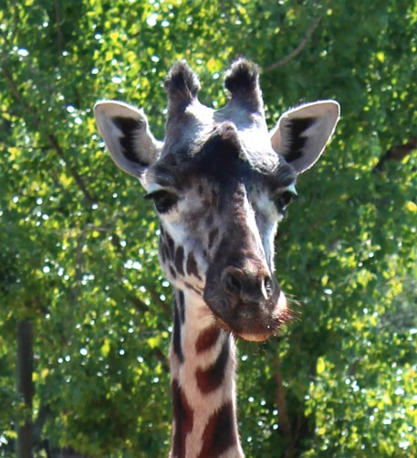 giraffe-03 BY CHARLEBOIS