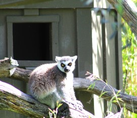 lemur-05 BY CHARLEBOIS