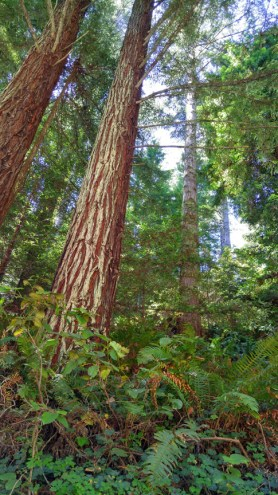 Redwood and fern forest. Mendocino Coast California.