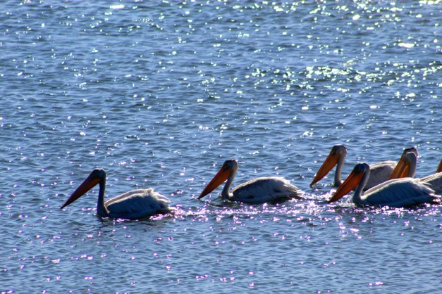 pelicans-01 12x BY CHARLEBOIS