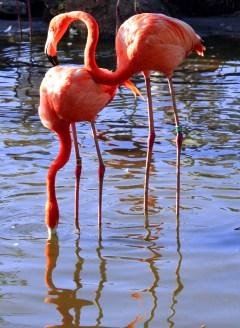 Safari West flamingos. Santa Rosa California. Photo: Mary Charlebois