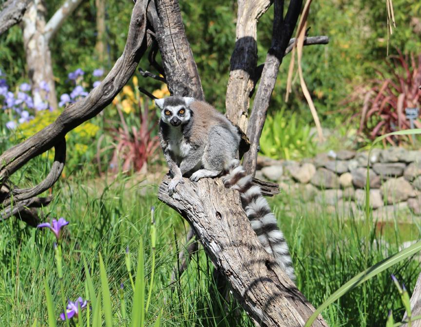 Safari West Lemur. Photo: Mary Charlebois