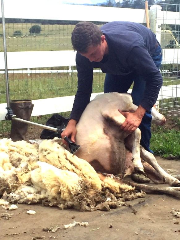 sheep sheer wool fest-02 BY CASARI