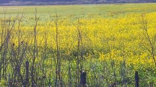 yellow-field-stronatta-dairy-01-24x-by-charlebois