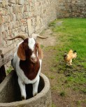 And I made a goat friend!