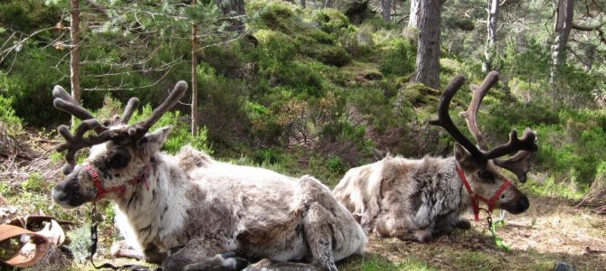 Exploring the Highlands of Scotland – Reindeer Trekking
