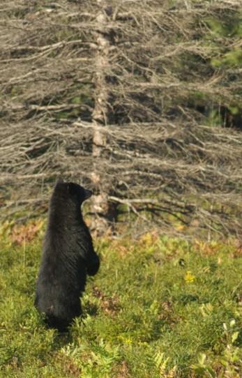bear ma 2
