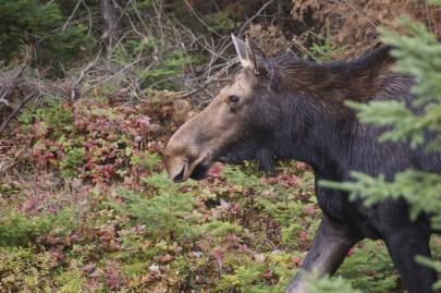 moose2014a