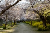 Alley of cherry trees next to Kintai Bridge