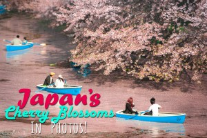 japan-cherry-blossom-in-photos-sakura