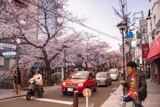 japan-cherry-blossoms-sakura-2896