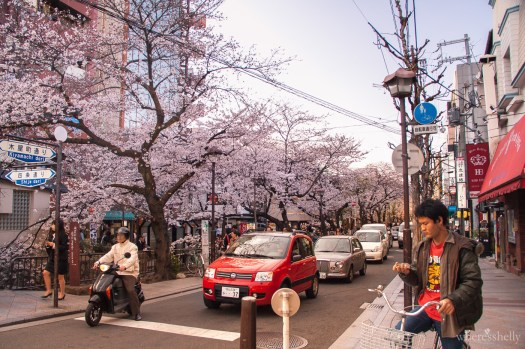japan-cherry-blossoms-sakura-2896