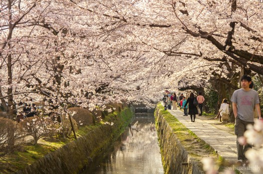 japan-cherry-blossoms-sakura-2938