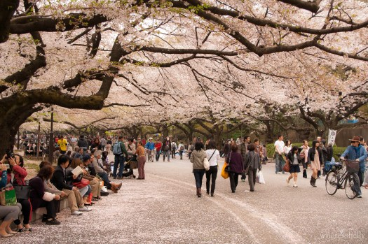 japan-cherry-blossoms-sakura-3581