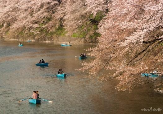 japan-cherry-blossoms-sakura-3681