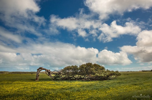 geraldton-leaning-tree-greenough