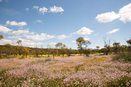 coalseam-conservation-park-wildflowers