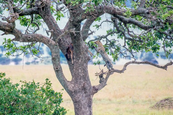 Leopard with a kill (wildabeest) in a tree.