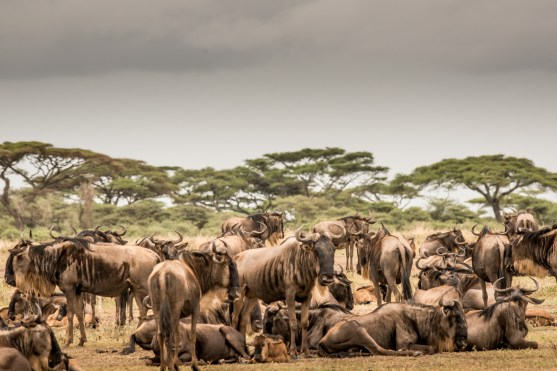 Wildebeest on the savanna