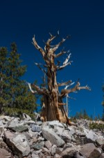 Bristlecone Pine. Great Basin National Park.