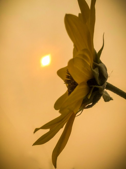 Smoky Sky with Sunflower and Sun