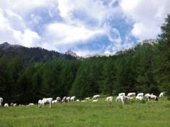 Sheep in vallee Etroite