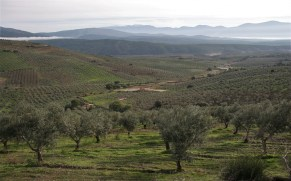 mist-and-olive-groves-2