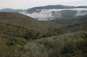 mist-and-olive-groves