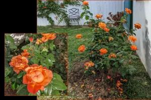 My Rose Bush Meets Spring