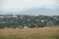 Romanian Horses