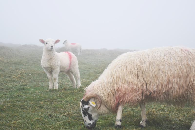 The-sheep-herds-of-Dingle-Ireland-Pastures-Paddocks