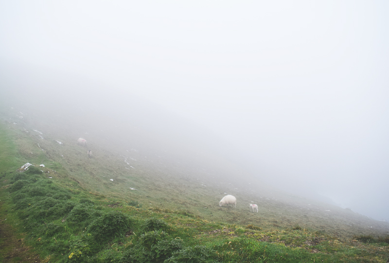 The-sheep-of-Dingle-Ireland-into-the-mist-of-the-ocean-shore-Atlantic
