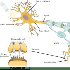 Basic Neuron Diagram 1998 Mitsubishi Eclipse Wiring Neurons