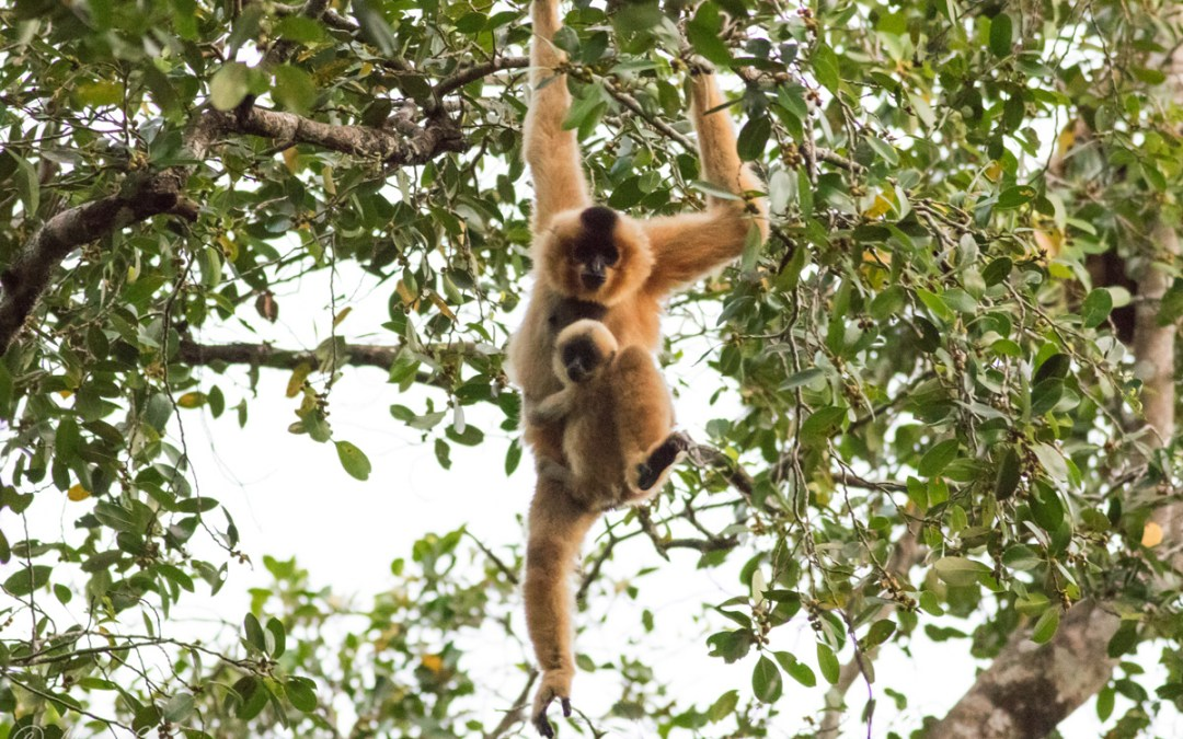 Disney Conservation Fund Helps World Hope International Support People, Southern Yellow-Cheeked Crested Gibbons, and the Habitats They Need to Thrive