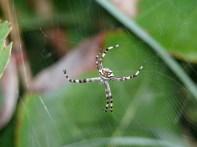 ferocious-looking spider, Florida Keys
